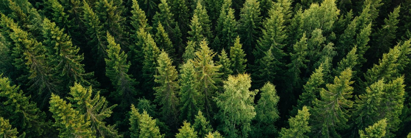 Pine Trees Aerial View